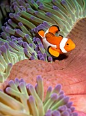 False clownfish in sea anemone