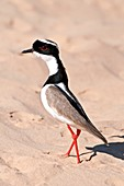 Pied plover on sand