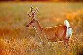 Pampas deer in a meadow