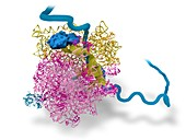Bacterial ribosome and protein synthesis
