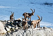 Ibex by a glacier