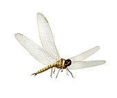 Prehistoric flying insect,artwork