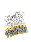 Beta secretase enzyme,molecular model