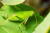 Bush cricket on a leaf