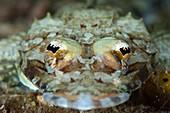 Crocodile flatfish