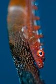 Portrait of goby on sea whip