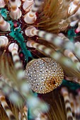 Detail of sea urchin,Indonesia