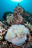 Sea anemone on reef in Indonesia