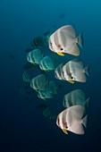 School of longfin spadefish