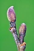 Common alder (Alnus glutinosa) buds