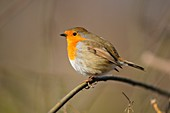 Robin perched on a plant stem