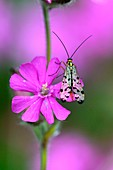 Scorpionfly on a red campion flower