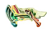 Human ear anatomy,artwork