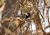 Acacia pied barbet in acacia thorn tree