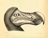 Head of a dodo,1848 artwork