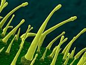 Tobacco leaf,SEM