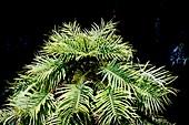 Wollemi conifer foliage