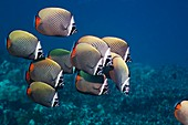 Redtail butterflyfish