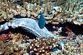 Triggerfish feeding on dead surgeonfish