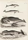 Cetaceans,19th century