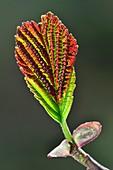 Common alder (Alnus glutinosa) leaf