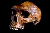 Homo heidelbergensis skull,Broken Hill 1