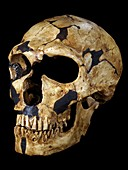 Neanderthal fossil skull La Ferrassie 1