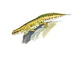 Palmate newt,artwork