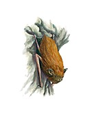 Common pipistrelle bat,artwork