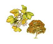 Italian maple (Acer opalus) in flower
