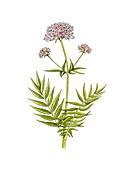 Valerian (Valeriana officinalis) flowers