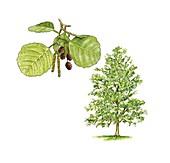 Alder (Alnus glutinosa) tree,artwork