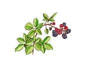 Blackberry (Rubus ulmifolius) in fruit,a