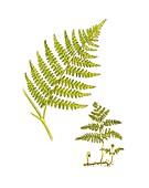 Bracken (Pteridium aquilinum),artwork