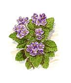 Pyrenean violet (Ramonda myconi),artwork