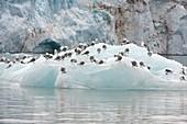 Kittiwakes on ice