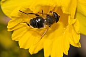 Hoverfly pollinating a daffodil