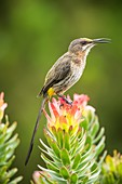 Cape sugarbird on a flower