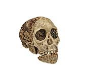 Taung Child skull (Taung 1)