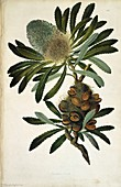 Old man banksia (Banksia serrata),1773