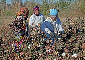 Cotton boll harvesting