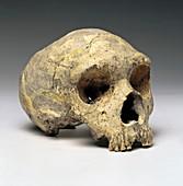 Neanderthal cranium (Gibraltar 1)