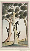 Aboriginal tree climbing,18th century