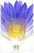 Cape blue waterlily (Nymphaea capensis)