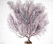 Gorgonian coral,artwork