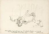 Hunters skinning a rhinoceros,artwork