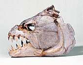 Tigerfish skull