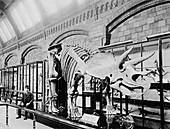 Triceratop dinosaur skeleton