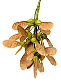 Sycamore (Acer pseudoplatanus) seeds