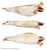 Adelie penguin specimen